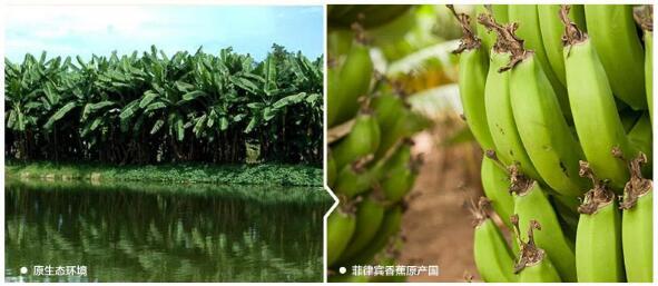 菲律宾进口香蕉