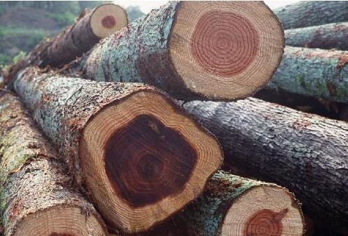 俄罗斯樟子松原木进口装卸